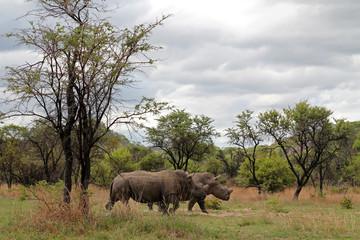 Zwei Nashörner mit Landschaft, Matopos Nationalpark