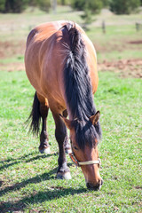 Chestnut horse standing on green grass and feeding