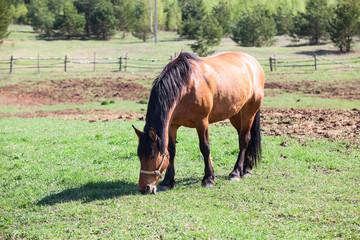 Chestnut horse Orlovsky eating grass in village