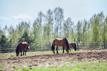 Horses grazing on the village field