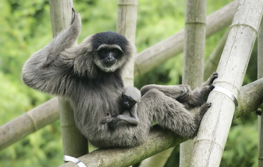 Female silvery gibbon with cub