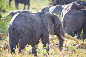 Group of large elephants walking in Serengeti