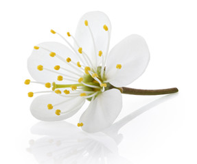 Single cherry flower isolated on white  with clipping path