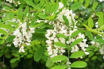 fiori di acacia su ramo