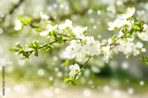 Fotobehang Kersen Beautiful fruit blossom outdoors