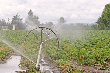Rubarb Irrigation