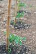 piante di pomodoro nell'orto