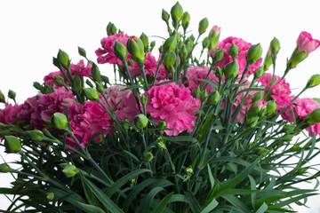 カーネーション 花束 白背景 pink carnation