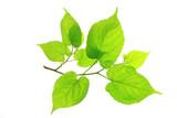 Lindenblätter