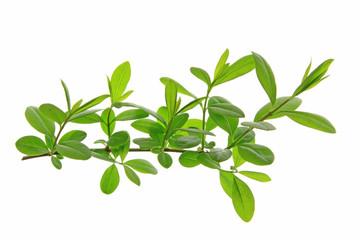 Liguster (Ligustrum vulgare)