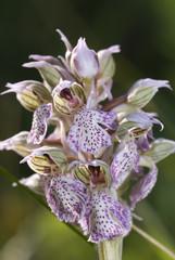 Orchidea, Neotinea lactea