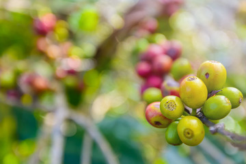 Coffee beans ripening on tree ,red and green fresh