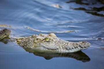 Aggressives, aber schönes Krokodil