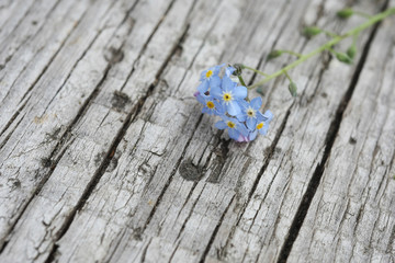 flower forget-me