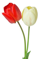 red and white tulips on a white background