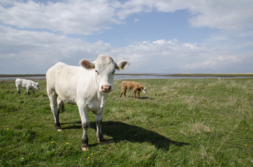Cattle at coastal pastureland