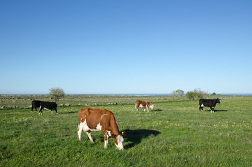 Grazing cattle at spring