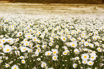 Big field of daisy flowers