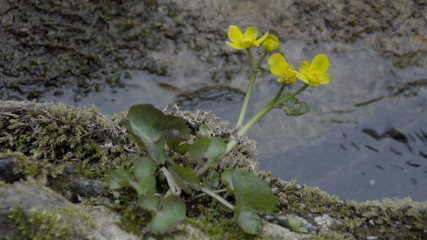 The yellow Marsh Marigold on the river
