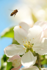 Bee collects pollen from the flowers of apple