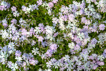 Phlox subulata flowers growing up