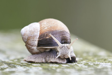 Burgundy snail (Helix pomatia)