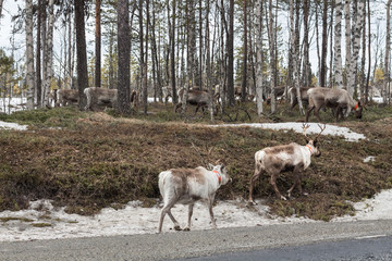 flock of reindeer
