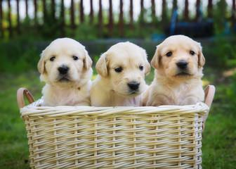 Three golden retriever puppies