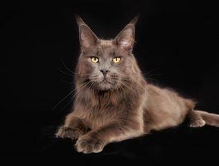 Purebred cat