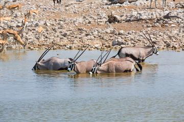 Oryx drinking water in Etosha NP