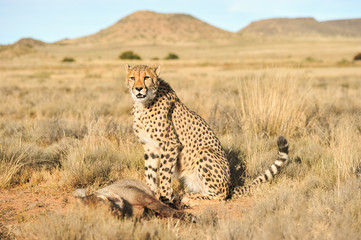 Cheetah with its trophy