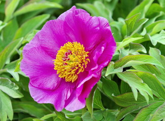European or common peony (paeonia officinalis)