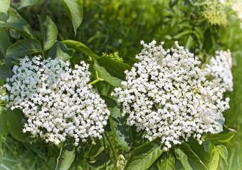 White elderberry flowers Sambucus nigra