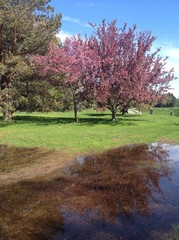 Reflet d'un arbre en fleur...