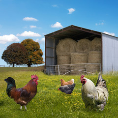 Chickens countryside