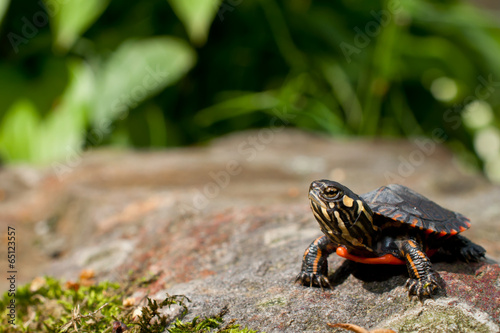 Foto op Canvas Schildpad Eastern Painted Turtle
