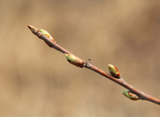 Willow buds open