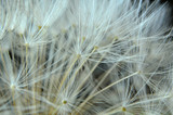 Close Up of a Dandelion Clock - 65125140