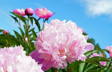 Romantische rosa Pfingstrose
