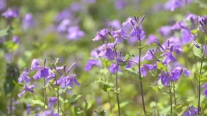 Flowers of Violet Orychophragmus,in Showa Kinen Park,Tokyo,Japan
