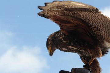 Aigle de fauconnerie