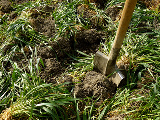 digging of green manure into the soil for fertilizing