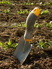 small shovel with spinach bed at the background