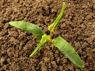 sugar maple seedling