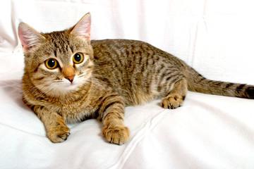 Gray tabby kitten.