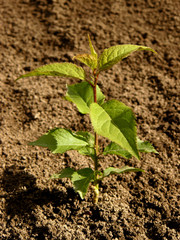 small seedling of apricot tree