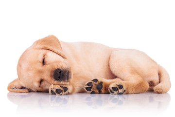 little labrador retriever puppy dog showing its paws while sleep