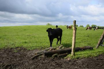 Bull on a green field