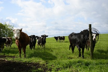 Beautiful cows on a green field