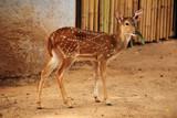 female axis deer poster